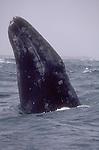 Gray whale, Baja, Mexico, Eschrichtius robustus, spyhopping, San Ignacio Bay; Bahia San Ignacio;