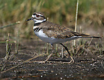 A killdeer feeds in Little Washoe Lake, in Washoe State Park. Washoe Lake State Park, established in 1977, is one of 25 in the Nevada state parks system and is home to many forms of wildlife. The 4,115-acre park, in Washoe Valley, Nevada, is popular with bird watchers, as the park is home to hundreds of migratory and resident species as well as other creatures common to the Great Basin. <br /> Photo by Cathleen Allison