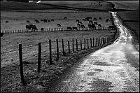 Europe/France/Auvergne/15/Cantal/Massif du Puy Mary: Vaches Salers  en paturage  et route aux environs  d'Apchon - Parc Naturel Régional des Volcans d'Auvergne