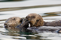 "Sea Otter (Enhydra lutris) mom feeding pup.  Pup is just starting to eat ""solid food,"" if one calls clams and other mollosk solid food."