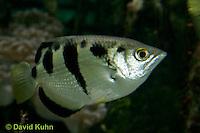 0120-08vv  Banded archerfish - Toxotes jaculatrix © David Kuhn/Dwight Kuhn Photography