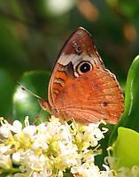 Common buckeye at blooming ligustrum