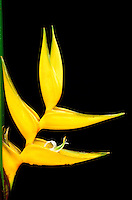 A close-up of a Heliconia bihai, cv. Yellow Dancer, blossom against a dark background