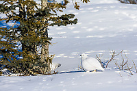 Willow ptarmigan in winter white phase, Arctic, Alaska.