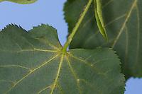 Winter-Linde, Linde, Winterlinde, Blattunterseite, Tilia cordata, Little Leaf Linden, Tilleul à petites feuilles