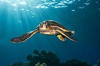 green sea turtle, Chelonia mydas, Honaunau, Kona Coast, Big Island, Hawaii, USA, Pacific Ocean Ocea