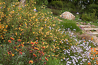 Orange flower sticky Monkey Flower (Mimulus aurantiacus) California native plant in deer proof California flower garden with Gaillardia and Verbena; Torgovitsky