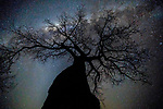 """A baobab (Adansonia digitata) reaches for the Milky Way, Mana Pools National Park, Zimbabwe<br /> <br /> There are nine species of baobab tree, the strangely shaped elephantine plant that grows in lowland southern Africa and Australia and has earned the nickname """"upside-down tree,"""" since it looks like its roots, which are really stubby branches, extend not into the ground but into the air. <br /> <br /> Canon EOS 5DS R, Zeiss Distagon T* 2.8/15 ZE lens, f/2.8 for 15 seconds, ISO 5000"""