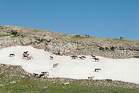 Wild Horses or feral horses (Equus ferus caballus) keeping cool and away from biting flies on summer snowbank.  Western U.S., summer.
