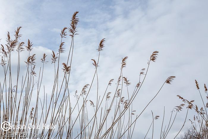 Reeds on the Muddy River, Fenway, Boston, Massachusetts, USA