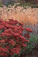 Sedum, ornamental grass Pennisetum alopecuroides & Salvia in autumn color with