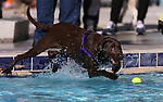 Sophie plays at the 9th annual Pooch Plunge at the Carson City Aquatics Center in Carson City, Nev., on Saturday, Sept. 23, 2017. The event is a fundraiser for Carson Animal Services Initiative which supports the Nevada Humane Society in Carson City. <br /> Photo by Cathleen Allison/Nevada Photo Source