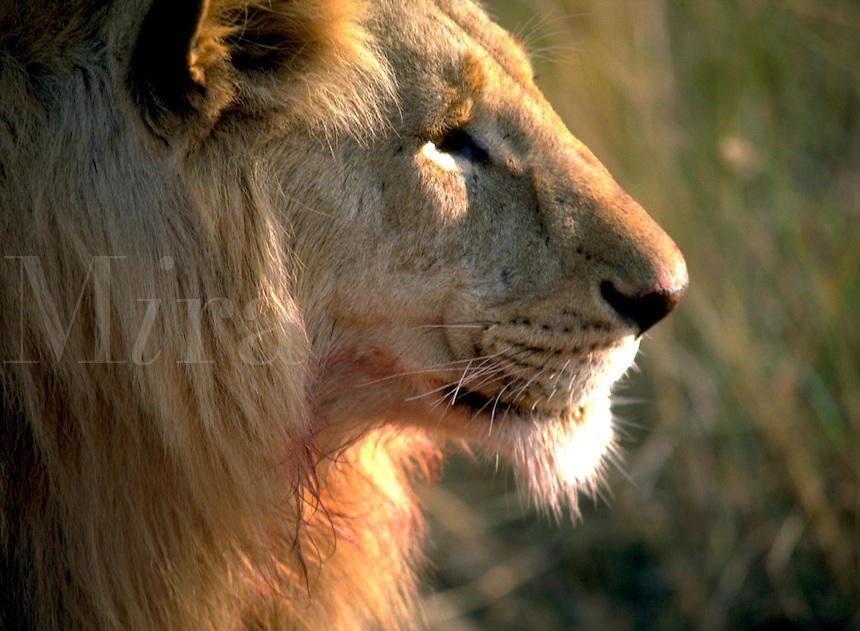 African, wild animal. Close up of a regal male lion with a mature mane. Amboseli, Kenya Amboseli National Park.