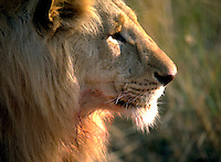 African, wild animal. Close up of a regal male lion with a mature mane. Amboseli, Kenya Amboseli National Park.