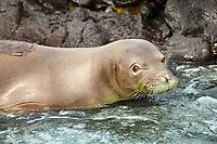 Hawaiian monk seal, Neomonachus schauinslandi (formerly Monachus schauinslandi), endemic species, endangered species, Kona Coast, Big Island, Hawaii, USA, Pacific Ocean