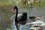 Black Swan-Cygnus atratus