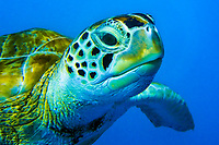 Underwater close-up portrait of a green turtle swimming in the blue Caribbean Sea, in Barbados Island, North America