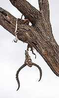 The remains of leopard kills are often found in trees.