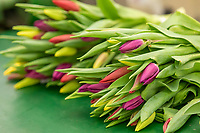 Bunched indoor tulips  - Lincolnshire, February