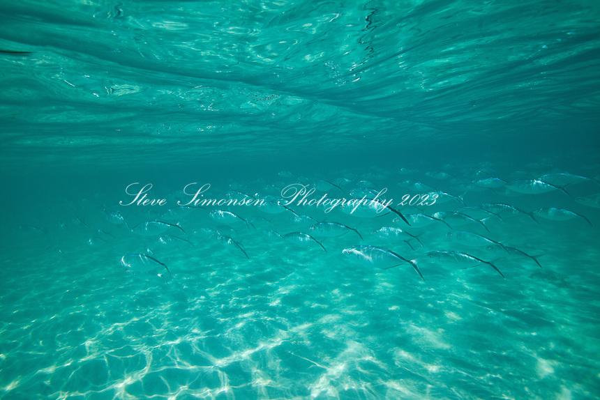 School of Bar Jacks in shallow water<br /> Maho Bay<br /> St John<br /> Virgin Islands National Park