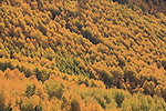 Vail Valley covered with yellow Aspen trees in autumn colors, Vail, Colorado. .  John offers private photo tours and workshops throughout Colorado. Year-round.