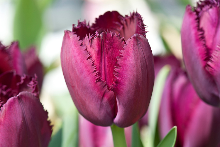 Tulipa 'Curly Sue', late April.