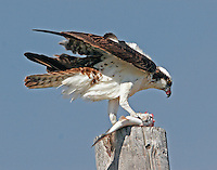 Osprey with outstretched wings eating fish on power pole