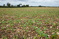 OSR drilled early August - Lincolnshire, September