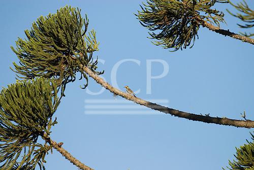 Fazenda Bauplatz, Brazil. Campo flicker woodpecker (pica-pau do  campo) (Colaptes campestris) female on an araucaria pine tree.