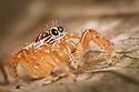 Jumping spider {Salticidae} hunting amongst dead leaves. Maroantsetra, Northeast Madagascar