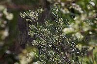 Ornithostaphylos oppositifolia: Baja Birdbush or Palo Blanco, California native shrub flowering