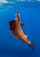 Atlantic sailfish, Istiophorus albicans, feeding on round sardinella or Spanish sardine, Sardinella aurita, Isla Mujeres, Mexico, Gulf of Mexico, Caribbean Sea, Atlantic Ocean