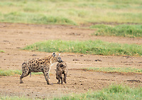 Two Spotted Hyenas, Crocuta crocuta, greet each other in Lake Nakuru National Park, Kenya. The individual on the left could be male or female. Female hyenas have an enlarged clitoris or pseudopenis that is so similar to male genitalia that it can be impossible to tell the sexes apart in the field.