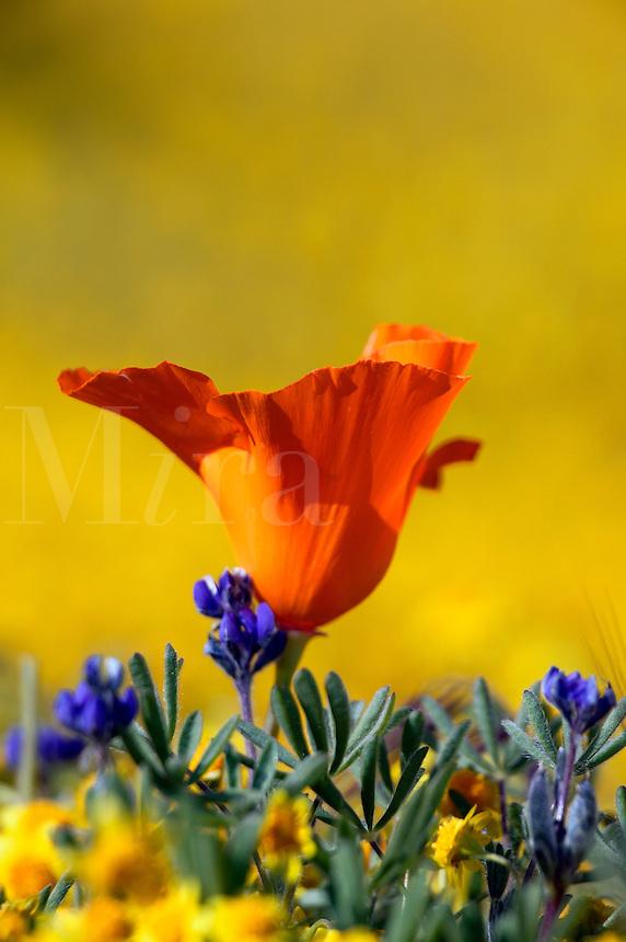 carpets of goldfields (Lasthenia californica) and California Poppies (Eschscholzia californica) Antelope Valley near Lancaster, California.