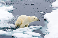 polar bear, Ursus maritimus, walking around the floating ice, Vulnerable (IUCN), Spitsbergen, Svalbard, Norway, Arctic Ocean, polar bear, Ursus maritimus