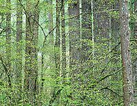 Douglas fir trees with vine maple in early spring growth. Silver Falls State Park, Oregon
