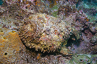 Stone fish, Synanceia verrucosa, Amami-ohsima island, Kagoshima, Japan, Pacific Ocean