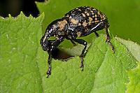 Großer Pestwurzrüssler, Großer Pestwurz-Rüssler, Großer Trägrüssler, Liparus glabrirostris, Weevil