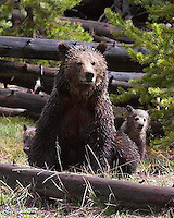 Very young grizzly bear (Ursus arctos horribilis) cubs are extremely vulnerable and mom is equally on guard. Here, after a morning rain, they face their first challenge of the day: Yellowstone tourists! Roaring Mountain, Yellowstone.