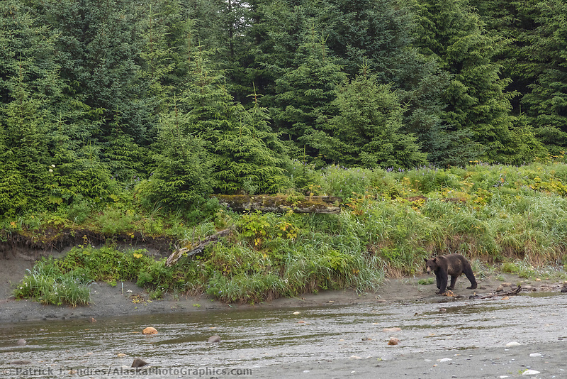 Brown bear along the coast, Glacier Bay National Park, Southeast, Alaska
