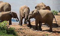 Elephants (Loxodonta africana) wrestling on the bank of the Ewaso Ng'iro River, Samburu