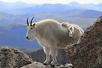Mountain Goat (Oreamnos americanus) on the slopes of Mount Evans (14250 feet), Rocky Mountains, west of Denver, Colorado, USA Wildlife  photo tours to Mt Evans. .  John leads private, wildlife photo tours throughout Colorado. Year-round.