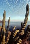 Baja, Mexico, Pitya dulce cactus frames the east coast of the Baja peninsula, looking North toward Mulege, Baja Sur, Sea of Cortez, Gulfo California, Gulf of California, Mexico
