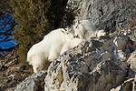 Two mountain goats nuzzle each other from a rocky perch in Jackson Hole, Wyoming.