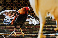 A cockfighting rooster waves its wings in the breeding station in Cucuta, Colombia, 1 May 2006. Cockfight is a widely popular and legal sporting event in Colombia. People take advantage of cock's natural, strong will to fight. Birds are specially trained to increase their aggression, stamina and to improve their fighting techniques. They are given the best of food, care and sometimes even a doping, basically in the same way like professional athletes are. Brave cocks are highly treasured. If a fighting cock wins certain number of matches breeders keep him for reproduction and do not let him fight anymore.