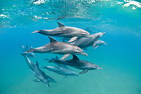 Indo-Pacific bottlenose dolphin, Tursiops aduncus, pod, Sodwana Bay, South Africa, Indian Ocean