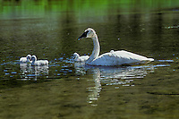 Trumpeter swan family (Cygnus buccinator),Western U.S..  June.