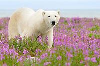 polar bear, Ursus maritimus, strolling and foraging in a field of wild fireweed flowers, Epilobium angustifolium, on sub-arctic island at Hubbart Point, Hudson Bay, near Churchill, Manitoba, Canada, Atlantic Ocean