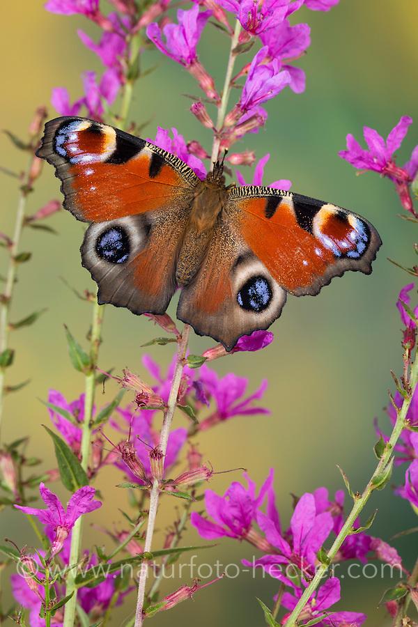 Tagpfauenauge, Blütenbesuch, Nektarsuche, Tag-Pfauenauge, Aglais io, Inachis io, Nymphalis io, peacock moth, peacock