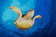 green sea turtle, juvenile, Chelonia mydas, Hanauma Bay Nature Preserve, Oahu, Hawaii, USA, Pacific Ocean